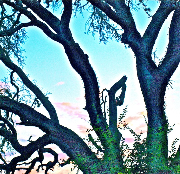 Live oaks at dusk